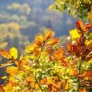 Quercus robur bare root 3 autumn foliage colours