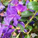 Buy Rhododendron Ramapo online from Jacksons Nurseries.
