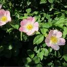 Rosa canina Base bare root 3 flowers and foliage