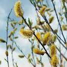 Buy Salix alba Bare Root