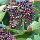 Sambucus nigra bare root berries