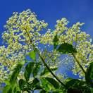 Buy Sambucus nigra Bare Root