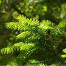 Taxus baccata bare root 2 foliage