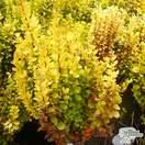 Buy Berberis thunbergii Golden Rocket online from Jacksons Nurseries