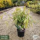 Fargesia nitida 'Great Wall' (Blue Fountain Bamboo)