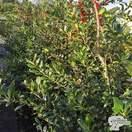 Buy Ilex aquifolium J.C. van Tol (Holly) online from Jacksons Nurseries.