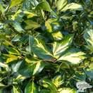 Buy Ilex x altaclerensis Lawsoniana (Holly) online from Jacksons Nurseries