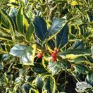 Buy Ilex x altaclerensis Golden King (Variegated Holly) online from Jacksons Nurseries.