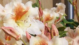 Easy to grow rhododendrons and azaleas