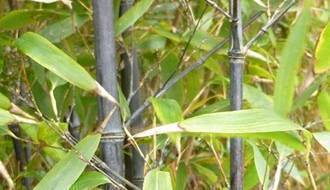 Fast growing bamboo plants