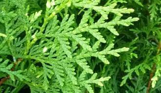 Fast growing conifer plants