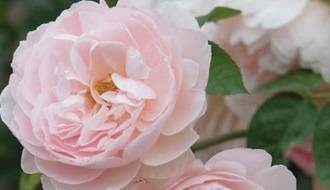 Fast growing rose plants