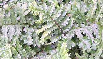 Fern plants for containers