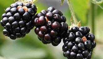 Fruit plants with berries