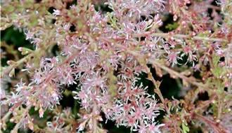 Actaea plants