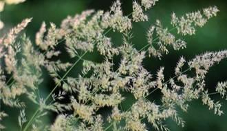 Calamagrostis plants
