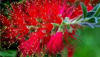 Callistemon plants (bottlebrush)