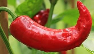 Chilli Pepper Seeds