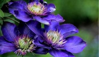 Climbing plants with blue flowers
