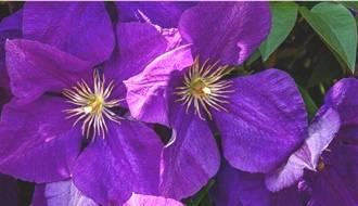 Climbing plants with purple flowers