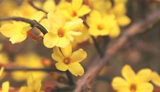 Climbing plants with yellow flowers