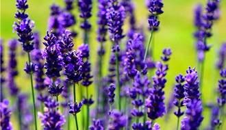 English lavender (Lavender angustifolia)