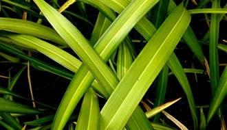 Evergreen grass plants