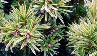 Fastigate yew plants