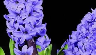 Fragrant Flower Bulbs