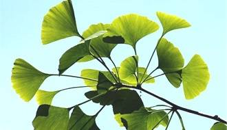 Ginkgo trees (Maidenhair Tree)