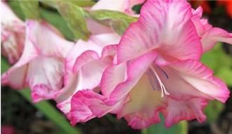 Gladioli Flower Bulbs