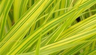 Hakonechloa plants