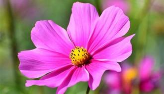 Half Hardy Annual Flower Seeds