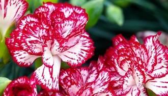 Hardy Annual Flower Seeds