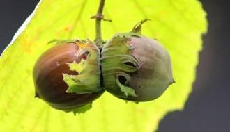 Hazelnut plants