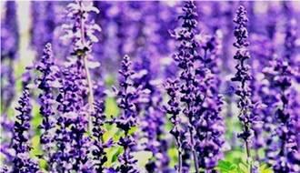 Lavender herb plants