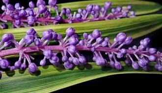 Liriope plants