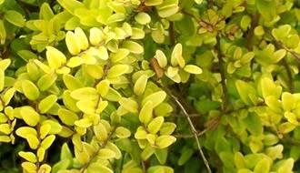 Lonicera shrubs (shrubby honeysuckle)