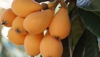 Loquat fruit trees