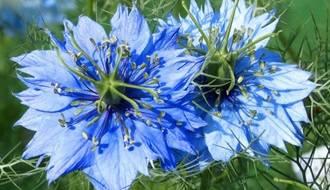 Nigella Flower Seeds