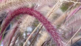 Pennisetum plants