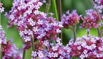 Perennial and Biennial Flower Seeds