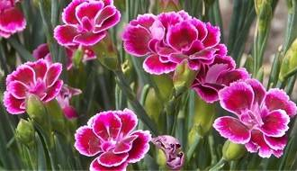 Shop all alpine plants