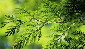 Shop all conifer plants