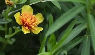 Tarragon plants