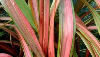 Variegated grass plants