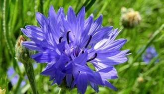 Wildflower Flower Seeds