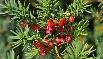Buy Conifers Online