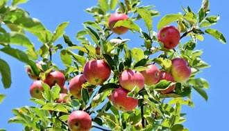 Buy Fruit Trees and Fruit Bushes Online
