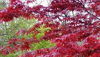 Buy Japanese Acer (Japanese Maple) Online